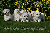 Bob, ANIMALS, REALISTISCHE TIERE, ANIMALES REALISTICOS, dogs, photos+++++,GBLA4360,#a#, EVERYDAY