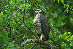 Immature Gray Hawk, Buteo nitidus, perced on branch at edge of river in rain, Manu, Peru, Amazonian Jungle, South America, raining, wet. .Peru....