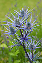 Eryngium × oliverianum, mid July.