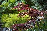 Acer palmatum dissectum 'Crimson Queen' purple foliage Japanese maple tree in Diana Magor garden