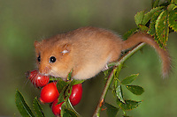 Haselmaus, klettert und frisst zwischen Hagebutten, Hagebutte, Rose, Hasel-Maus, Muscardinus avellanarius, hazel dormouse, common dormouse, Schläfer, Schlafmäuse, Bilche, Bilch, Gliridae, dormice