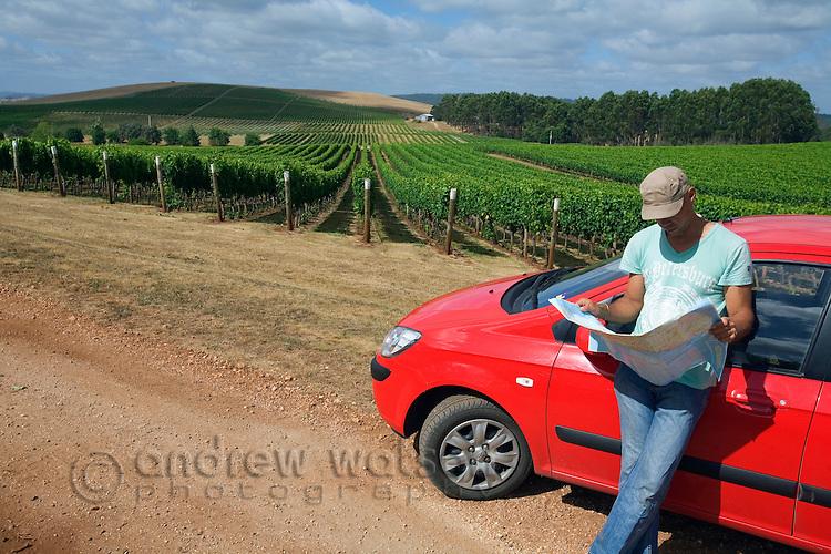 A man checks a road map while driving through vineyards.  Pipers River, Tasmania, AUSTRALIA