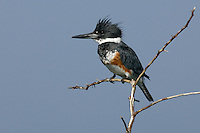 Belted Kingfisher - Megaceryle alcyon - female