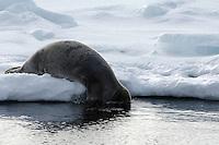 Bearded seal / Erignathus barbatus<br /> Pack ice<br /> Svalbard<br /> Norway