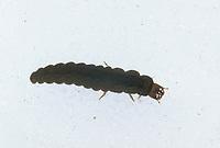 Larve vom Weichkäfer, Weichkäferlarve, Soldatenkäfer, Schneewurm, Schneewürmer, Larven, Cantharidae, Weichkäfer, soldier beetles