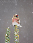 Common Redpoll (Carduelis flammea), male perched in snow-covered conifer during snowstorm, New York, USA
