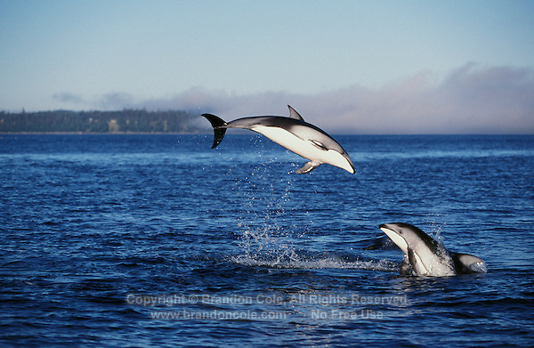 nb93. Pacific White-sided Dolphins (Lagenorhynchus obliquidens) leaping. British Columbia, Canada, Pacific Ocean..Photo Copyright © Brandon Cole.  All rights reserved worldwide.  www.brandoncole.com..This photo is NOT free. It is NOT in the public domain...Rights to reproduction of photograph granted only upon payment of invoice in full.  Any use whatsoever prior to such payment will be considered an infringement of copyright...Brandon Cole.Marine Photography.http://www.brandoncole.com.email: brandoncole@msn.com.4917 N. Boeing Rd..Spokane Valley, WA 99206   USA..tel: 509-535-3489
