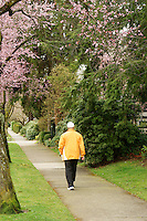 Man walking down a path framed by spring cherry blossoms, Vancouver, British Columbia, Canada