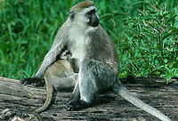 660370003 a wild vervet monkey mother cercopithecus aethiops nurses her young while sitting on a large dead snag in ngorogoro crater national park in tanzania