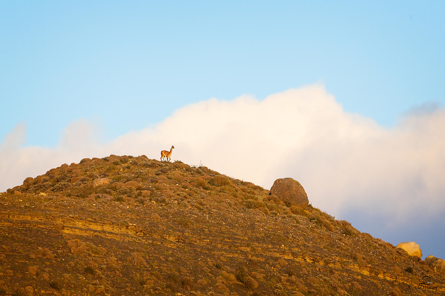 We were waiting for a young female Puma to emerge from her resting place along the side of the road (so many cars drove right past without any idea that she was there). There were several herds of Guanaco (Lama guanicoe) around. We spotted this individual high up on the ridge, nicely isolated in its imposing perch. It had seen the Puma and dutifully alerted its buddies. From our angle it looked like the Guanaco was up in those clouds.
