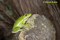 0605-0905  American Green Treefrog Climbing Tree at Outer Banks North Carolina, Hyla cinerea  © David Kuhn/Dwight Kuhn Photography