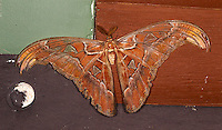 The atlas moth is the world's largest moth species.  This one was at least 9 or 10 inches across.