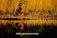00729-01819 Mallard (Anas platyrhynchos) male on log in wetland Marion Co.  IL