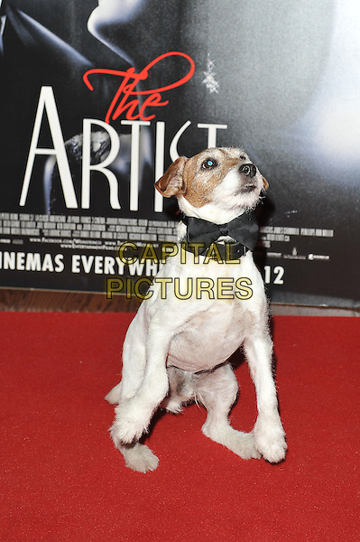 Uggie.'The Artist' UK Film Screening at Vue West End Cinema, Leicester Square, London, England. .10th January 2012.dog animal pet trained trick standing legs up begging.CAP/MAR.© Martin Harris/Capital Pictures.