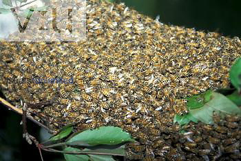 Honey Bee swarm ,Apis mellifera,