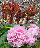 Paeonia lactiflora Sarah Bernhardt in two stages, composite picture of new young emerging red growths and pink flowers, early spring and late spring or early summer