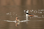 Female hooded merganser with sunfish