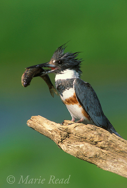 Belted Kingfisher (Ceryle alcyon) female holding a large fish, New York, USA<br /> Slide # B82-180