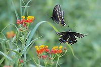 Black Swallowtai;