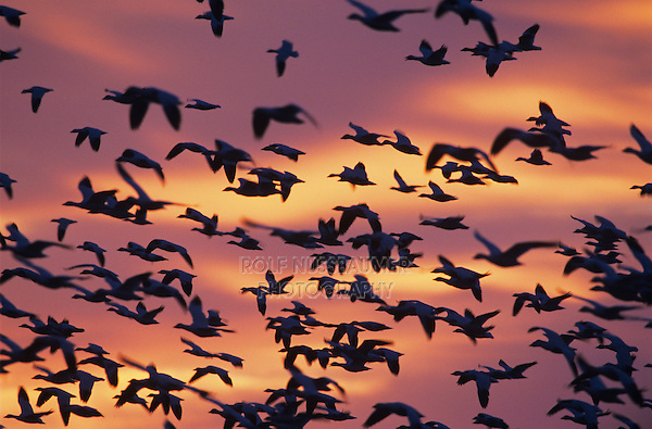 Snow Goose, Chen caerulescens, flock in flight at sunrise, Bosque del Apache National Wildlife Refuge , New Mexico, USA, December 2003