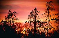 Saatkrähe, Saat-Krähe, Krähe, sammeln sich in der Abenddämmerung auf ihren Schlafbäumen, Corvus frugilegus, rook