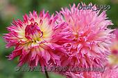Gisela, FLOWERS, BLUMEN, FLORES, photos+++++,DTGK1959,#f#