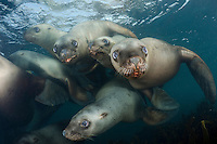 Steller Sea Lion, Eumetopias jubatus, aka northern sea lion, Race Rocks, British Columbia, North Pacific Ocean.
