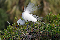 Great Egret Ardea alba, in breeding plumage.
