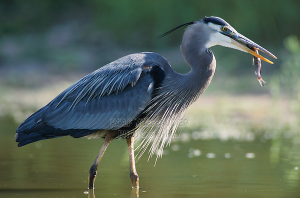 Great Blue Heron, Ardea herodias,adult in pond with catfish, Starr County, Rio Grande Valley, Texas, USA, May 2002