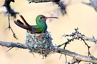 Buff-bellied Hummingbird on Nest