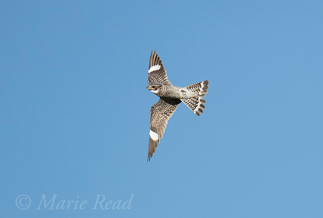 Common Nighthawk (Chordeiles minor) male turning in flight, Bowdoin National Wildlife Refuge, Montana, USA