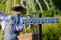 American Goldfinch, Spinus tristus, on sign in Communit garden, Maine, USA
