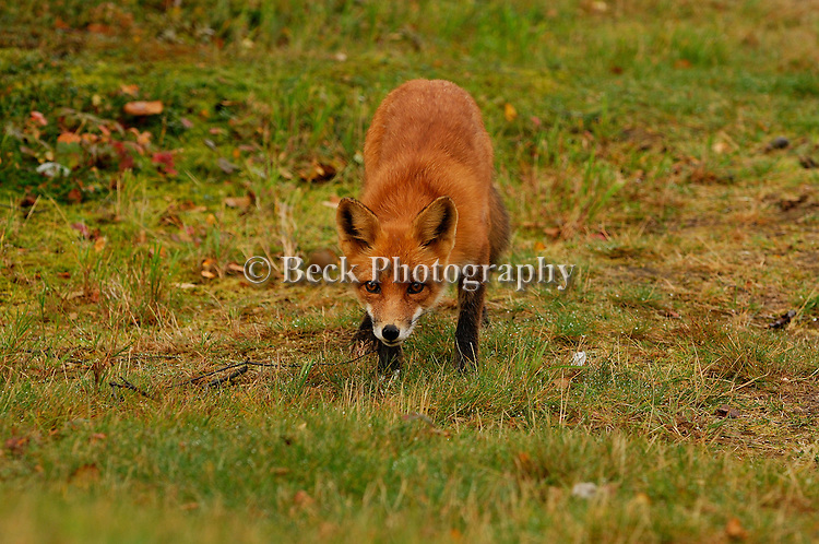 A mother red fox, know as a vixen, looks on cautiously, because her pups are nearby.