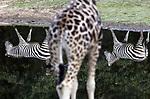 Foto: VidiPhoto<br /> <br /> ARNHEM – Burgers' Safari ondersteboven maandag. Zo ziet de savannevlakte er uit op een windstille dag, als de bewoners er van op zoek gaan naar voedsel. Centrum van de grote vlakte is een enorme drinkvijver, waar de dieren net als in het wild hun dorst lessen of verkoeling zoeken als het warm is. De strakke waterspiegel levert bovendien grappige beelden op als de dieren zowel voor de vijver staan als er omheen lopen. In totaal leven er 12 giraffes, 18 zebra's, 7 neushoorns, 9 gnoes, 2 oryxen, 7 waterbokken en 5 basterdgemsbokken op de savanne van het Arnhemse dierenpark. Het opgevangen regenwater in deze vijver wordt ook gebruikt om de Bush (het overdekte tropische regenwoud) elke nacht te beregenen.