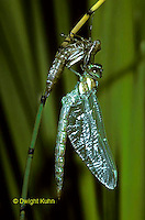 1O11-013z  Black-tipped Mosaic Darner Dragonfly adult emerging from nymph skin and inflating wings - Aeshna tuberculifera