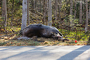 Crawford Notch State Park - Dead Moose on the side of Route 302 in the White Mountains, New Hampshire USA