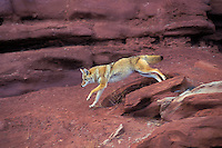 COYOTE running near Canyonlands National Park, Utah..Autumn. (Canis latrans).