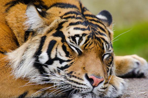 Sumatran Tiger (Panthera tigris) sleeping.