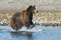 Grizzly Bear Ursus arctos horribilis Length to 2m Large bear with a grizzled brown coat. Once widespread west of the Rockies, now confined to Northwest.