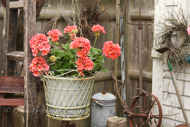 Coral colored geraniums in hanging basket.