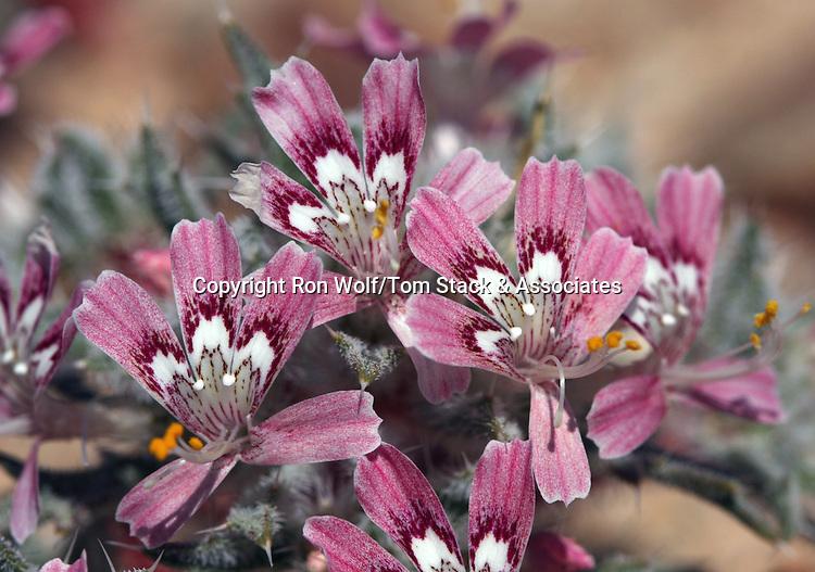Desert Calico (Loeseliastrum matthewsii). Owens Peak Wilderness. Near Ridgecrest, Kern Co., Calif.