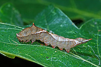 Eichen-Sichelflügler, Zweipunkt-Sichelflügler, Raupe, Watsonalla binaria, Oak Hook-tip, caterpillar, Sichelflügler, Drepanidae