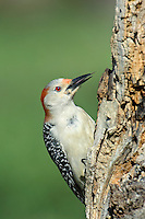 597990014 a wild male red-bellied woodpecker melanerpes carolinus with its tongue flicked out perches on a dead mesquite tree in the small town of lipscomb texas