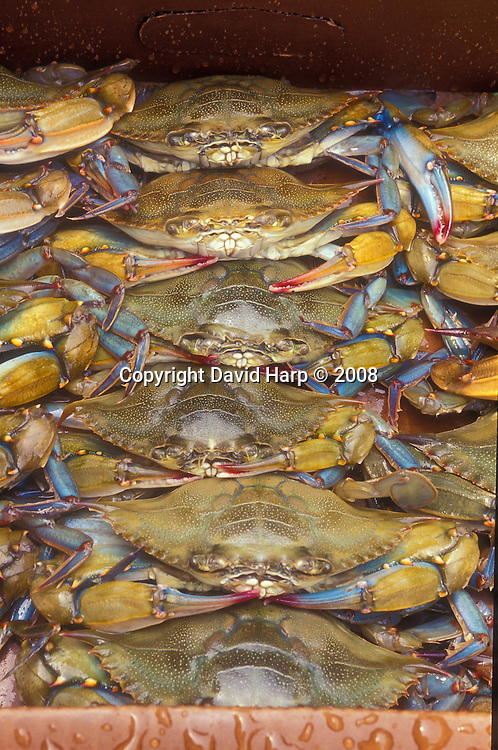 Soft shell crabs are packed for shipment in Crisfield, MD.