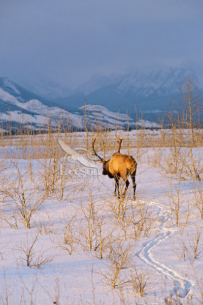 Rocky Mountain Bull Elk (Cervus elaphus) in evening, Northern Rocky Mountains.  Early winter.