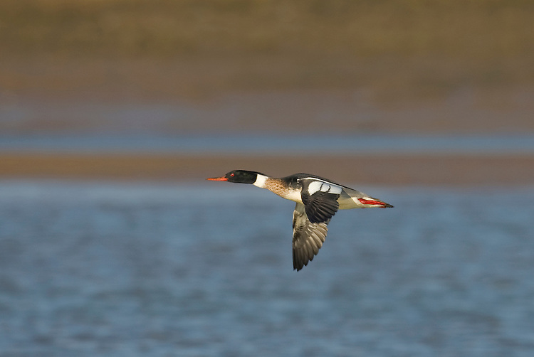 Red-breasted Merganser Mergus serrator L 52-58cm. Slim duck with shaggy, spiky, crest. Dives frequently in search of fish. In flight, all birds show white on upper surface of inner wing; extent is greatest in male. Sexes are dissimilar in other regards. Adult male has narrow red bill, green head, white neck and orange-red breast. Flanks are grey and back is black. In eclipse, similar to adult female but retains extensive white on wing. Adult female has red bill, dirty orange head and nape and paler throat; body is otherwise greyish buff. Juvenile resembles adult female. Voice Mostly silent. Status Nests beside fish-rich lakes and rivers, mainly in N; locally common. Influx from N Europe boosts numbers in winter and then common on estuaries and sheltered coasts.