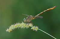 Narrow-striped Forceptail, Aphylla protracta, adult perched, Willacy County, Rio Grande Valley, Texas, USA, June 2006