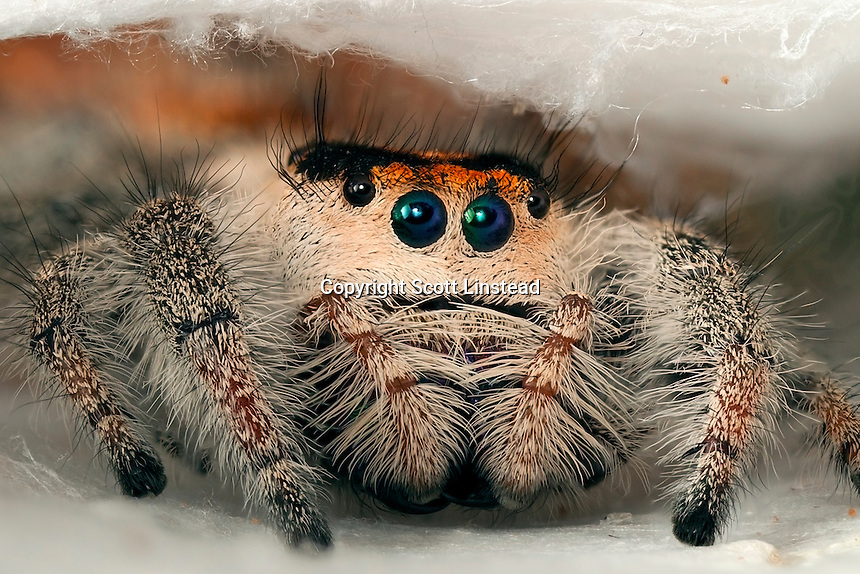 A close-up of a regal jumping spider in its web.