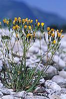 Alpen-Knorpellattich, Alpenknorpellattich, Alpen-Knorpelsalat, Chondrilla chondrilloides, Chondrilla prenanthoides, Nakedweed