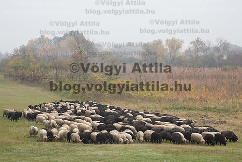 A flock of racka sheep is seen on a field in the fog during a celebration of the end of the grazing season in the Great Hungarian Plains in Hortobagy, 200 km (124 miles) east of Budapest in Hortobagy, Hungary on Oct. 21, 2017. ATTILA VOLGYI